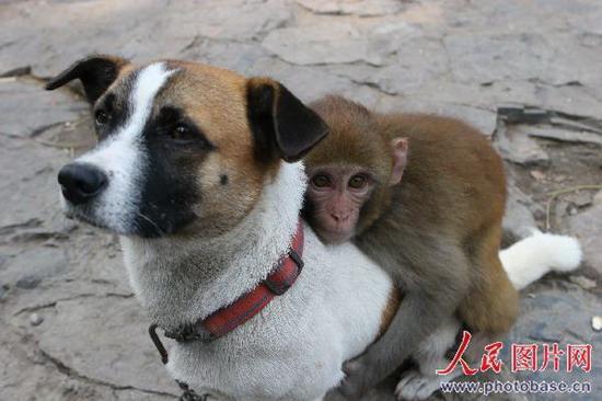 河南焦作:猴宝宝认狗为父猴山称王